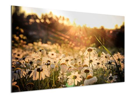Aluminiumbild Gänseblümchen bei Sonnenuntergang