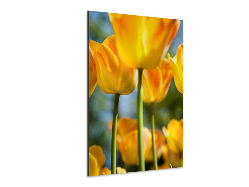 Aluminiumbild Im Tulpenbeet