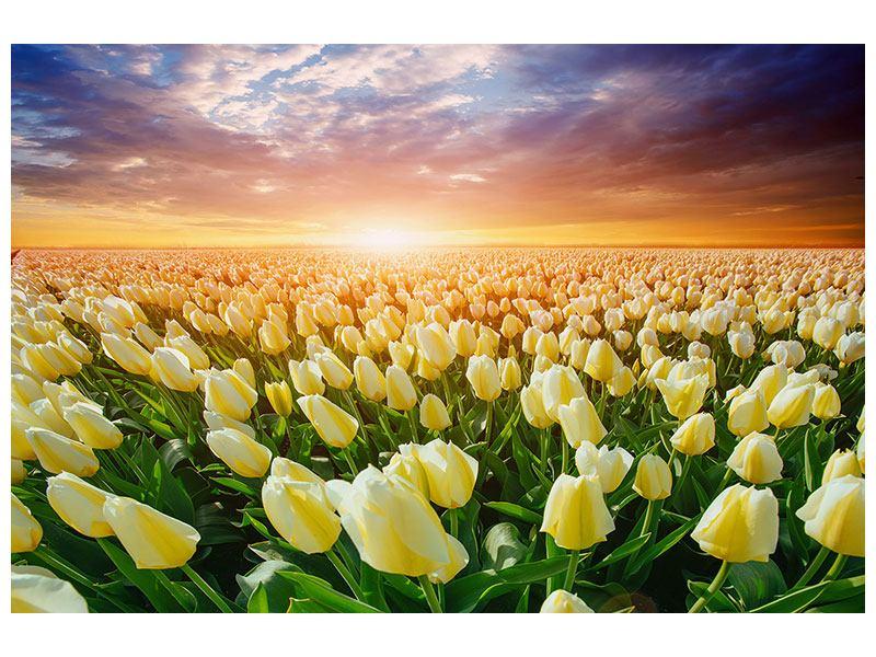 Aluminiumbild Sonnenaufgang bei den Tulpen