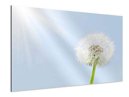 Aluminiumbild Der Löwenzahn im Sonnenstrahl