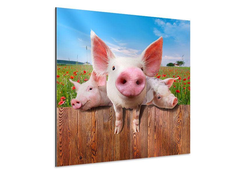 Aluminiumbild Schweinchen im Glück