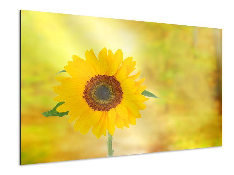 Aluminiumbild Die Sonnenblume