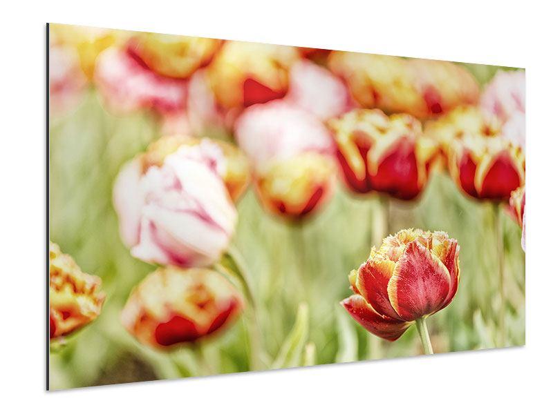 Aluminiumbild Die Schönheit der Tulpe