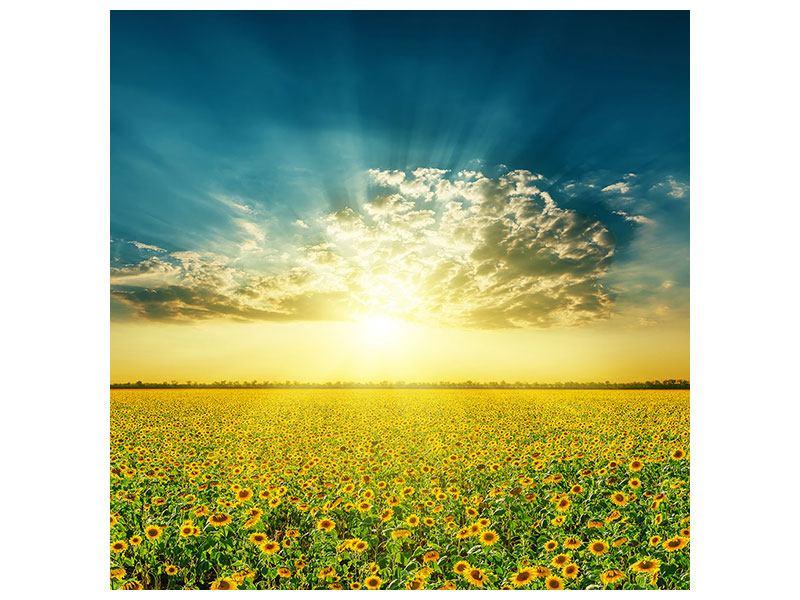 Aluminiumbild Sonnenblumen in der Abendsonne