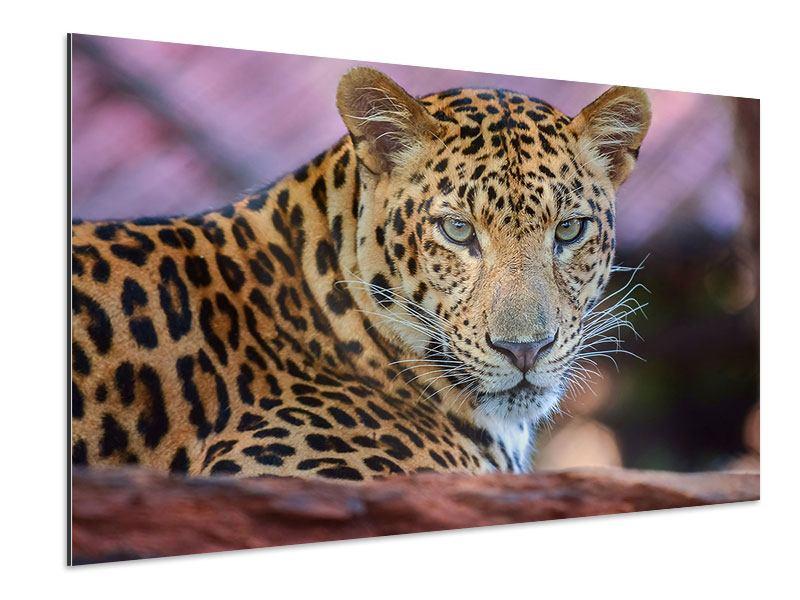 Aluminiumbild Leopard
