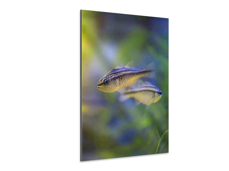 Aluminiumbild Fischpaar