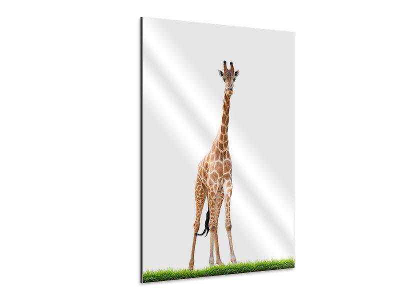 Aluminiumbild Die lange Giraffe
