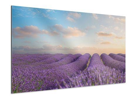Aluminiumbild Das blühende Lavendelfeld