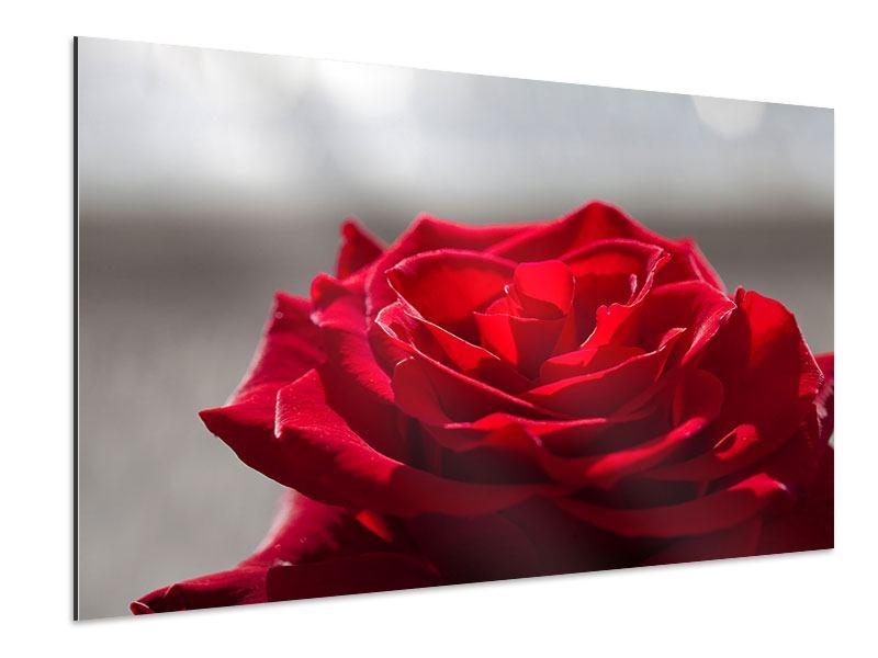 Aluminiumbild Rote Rosenblüte