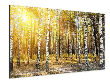 Aluminiumbild Birkenwald
