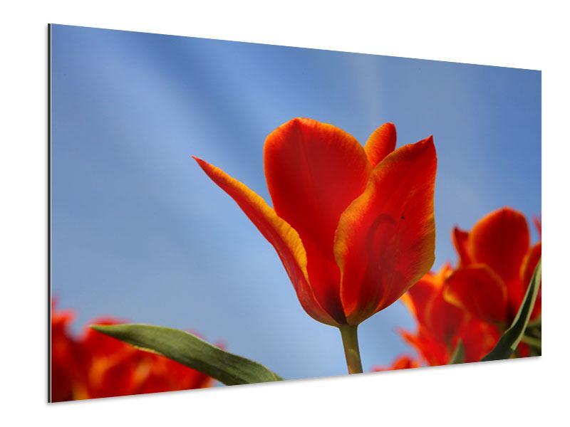 Aluminiumbild Rote Tulpen in XXL