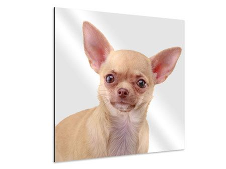 Aluminiumbild Chihuahua