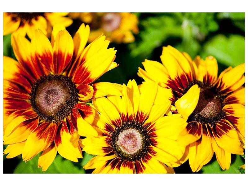 Aluminiumbild Reife Sonnenblumen
