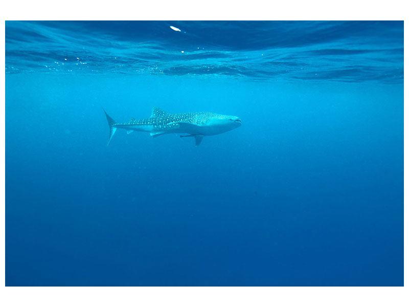 Aluminiumbild Der Walhai