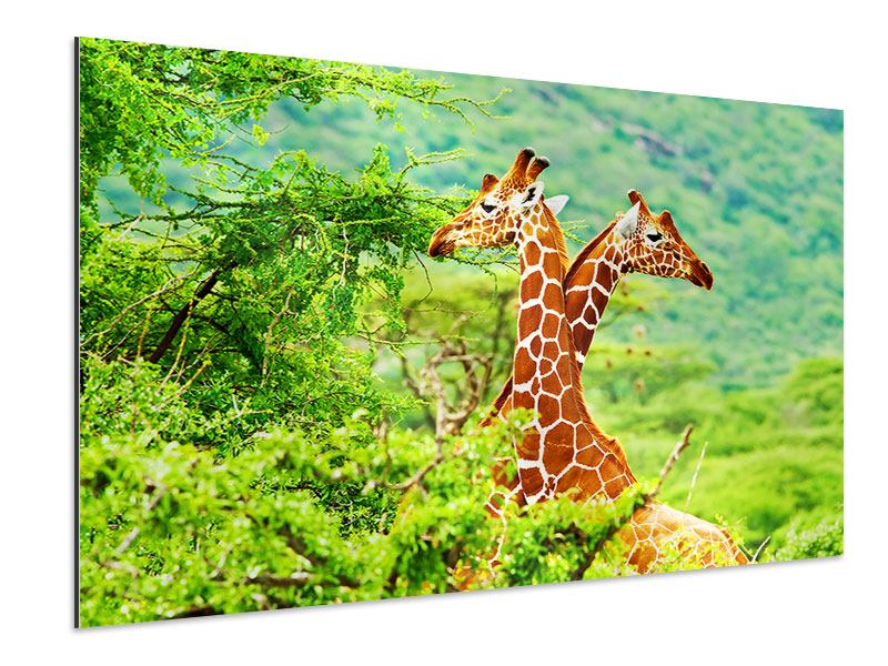 Aluminiumbild Giraffenliebe