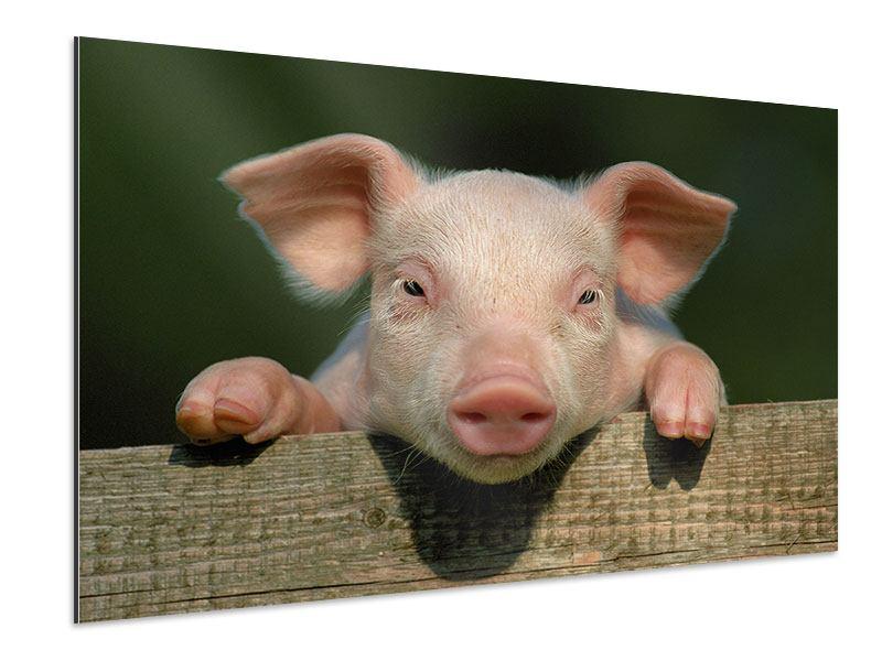 Aluminiumbild Schweinchen Namens Babe