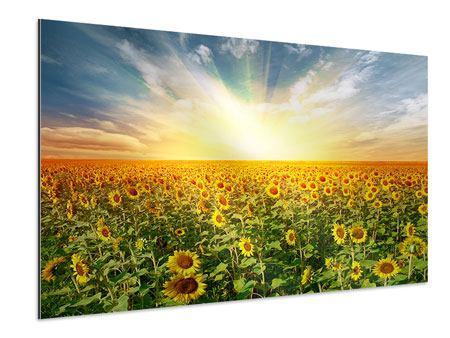 Aluminiumbild Ein Feld voller Sonnenblumen