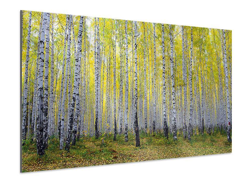 Aluminiumbild Herbstlicher Birkenwald
