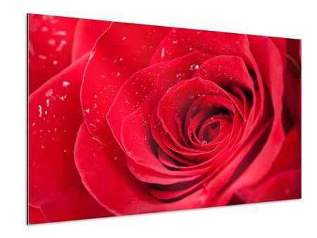 Aluminiumbild Rote Rose im Morgentau
