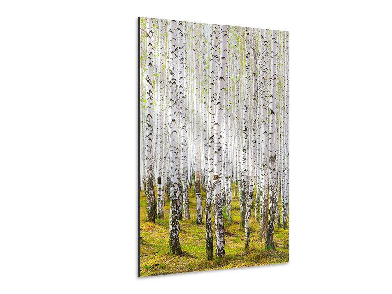 Aluminiumbild Der Birkenwald im Frühling