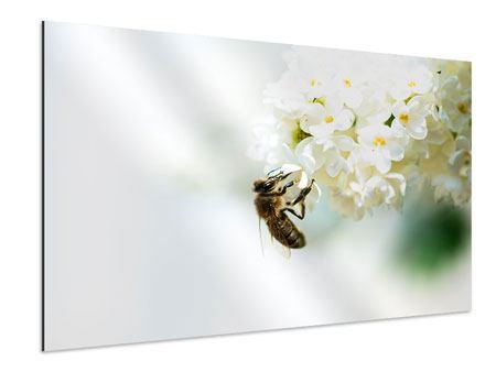 Aluminiumbild Die Hummel und die Blüte