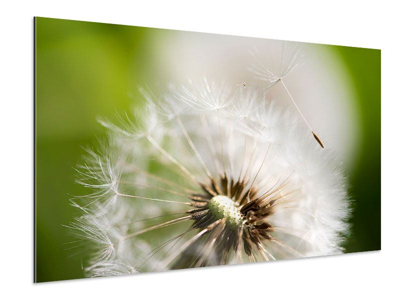 Aluminiumbild Pusteblume Löwenzahn