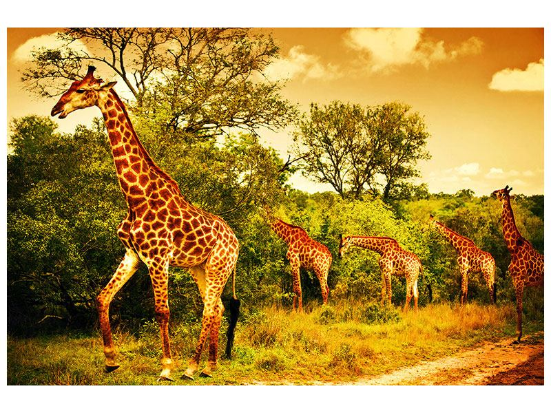 Aluminiumbild Südafrikanische Giraffen