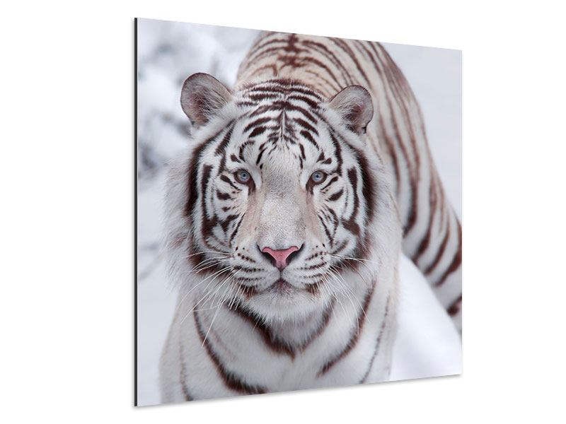 Aluminiumbild Der Königstiger
