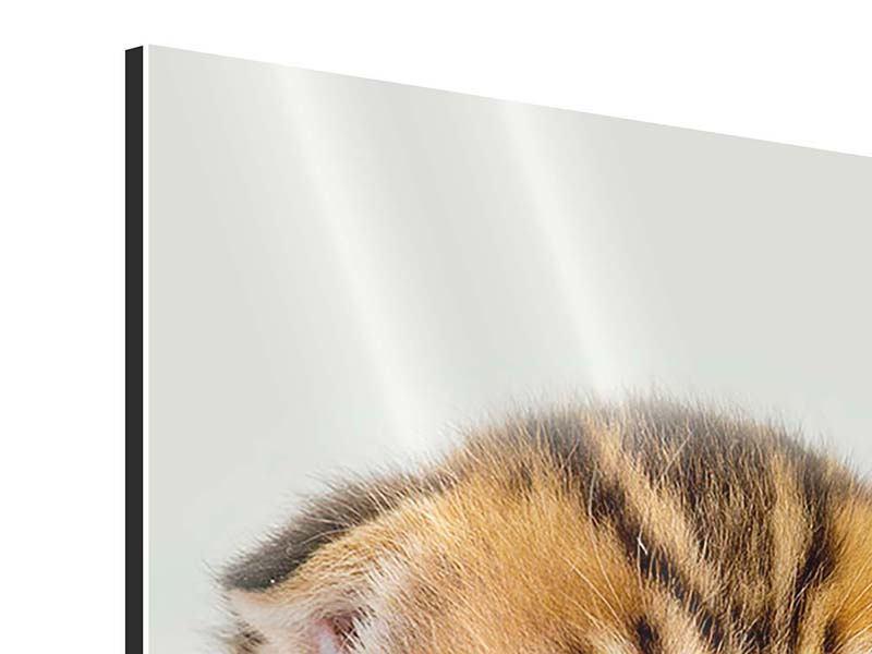 Aluminiumbild Faltohrkatzenbaby