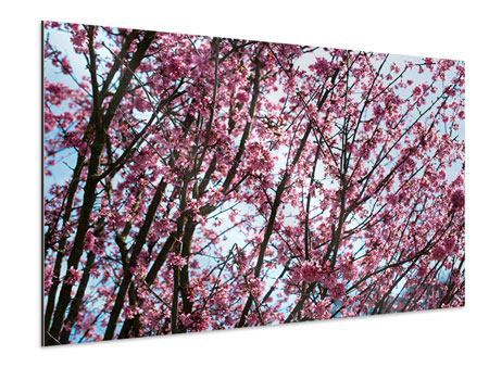 Aluminiumbild Japanische Blütenkirsche