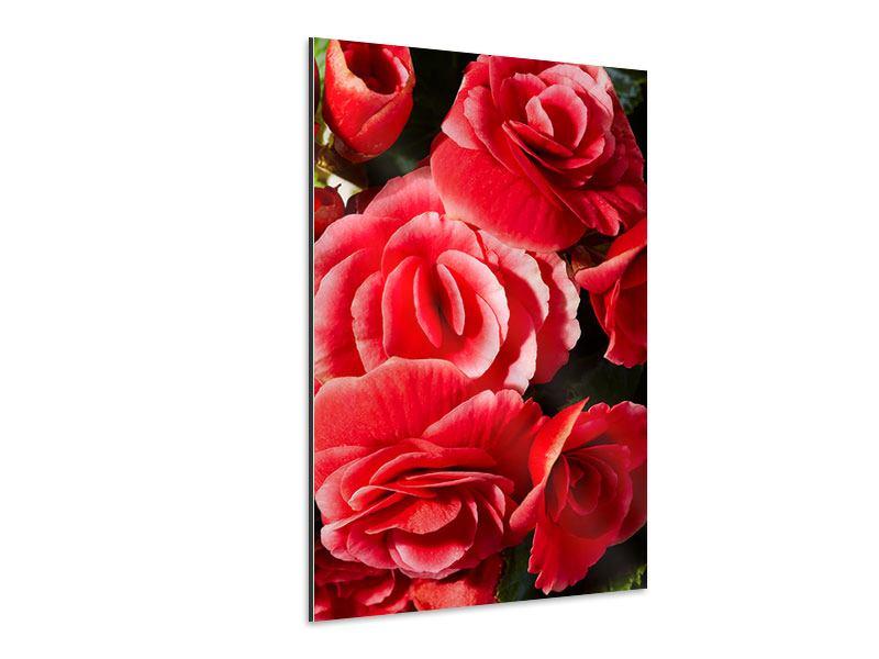 Aluminiumbild Rote Rosen