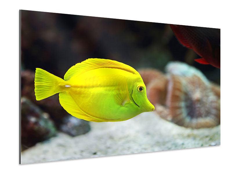 Aluminiumbild Segelflossendoktorfisch