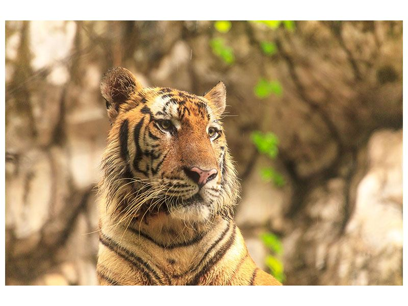 Aluminiumbild Tiger