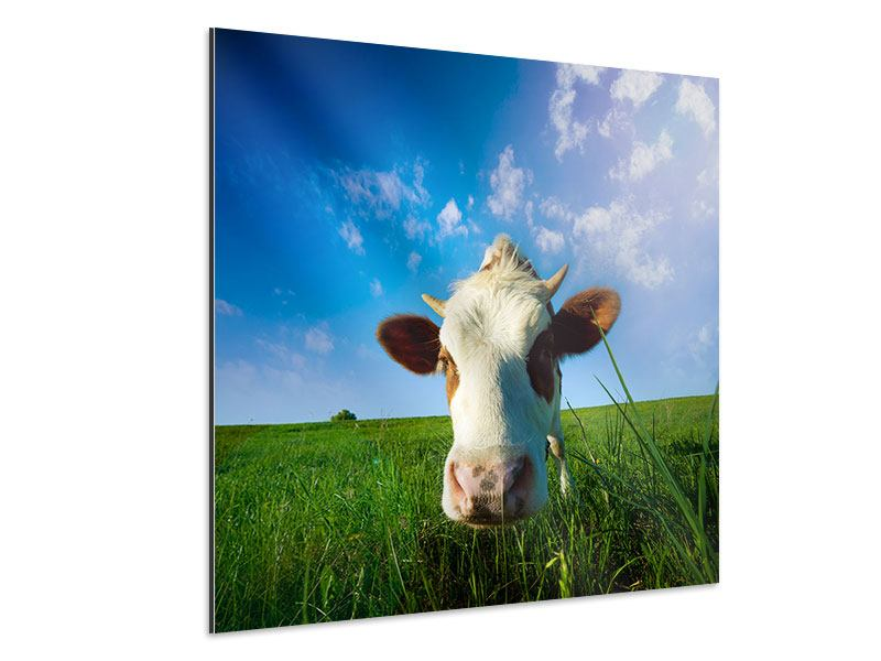 Aluminiumbild Die Kuh