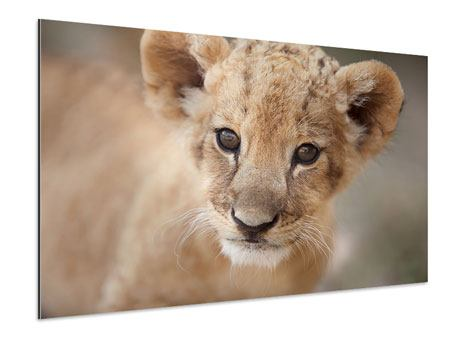 Aluminiumbild Löwenbaby
