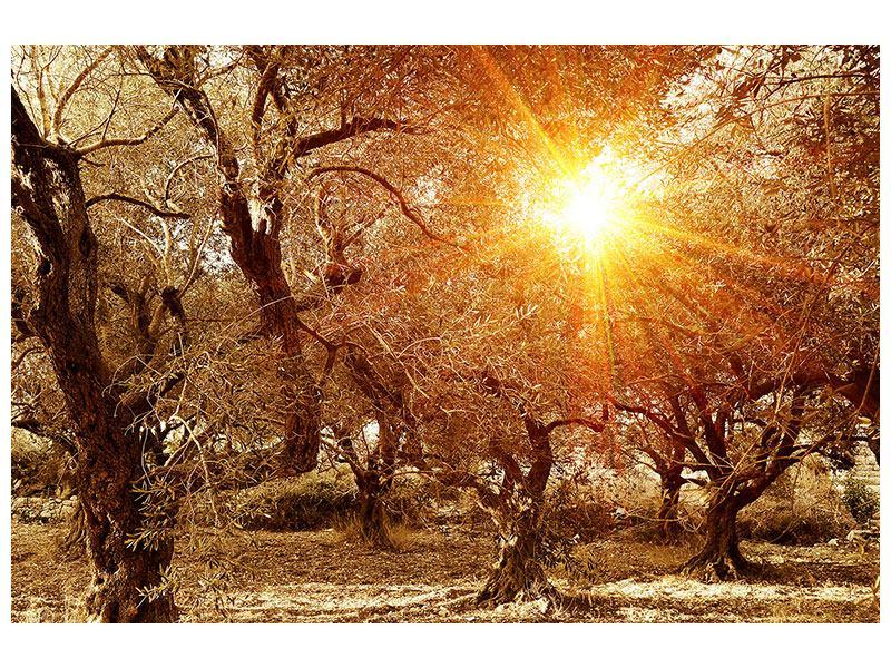 Aluminiumbild Olivenbäume im Herbstlicht