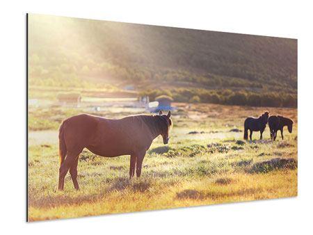 Aluminiumbild Wilde Pferde