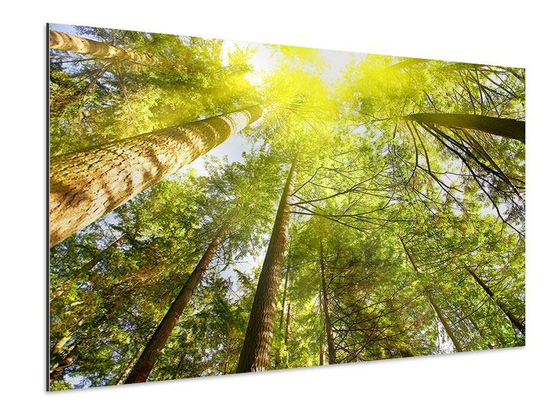 Aluminiumbild Baumkronen in der Sonne