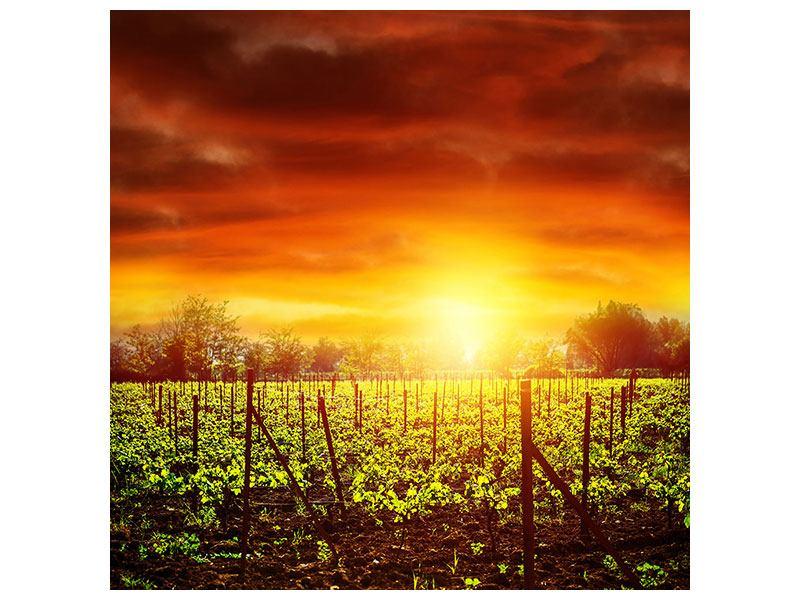 Aluminiumbild Der Weinberg bei Sonnenuntergang