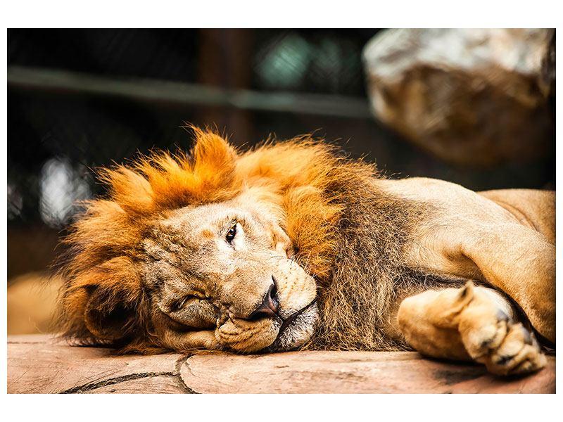 Aluminiumbild Entspannter Löwe