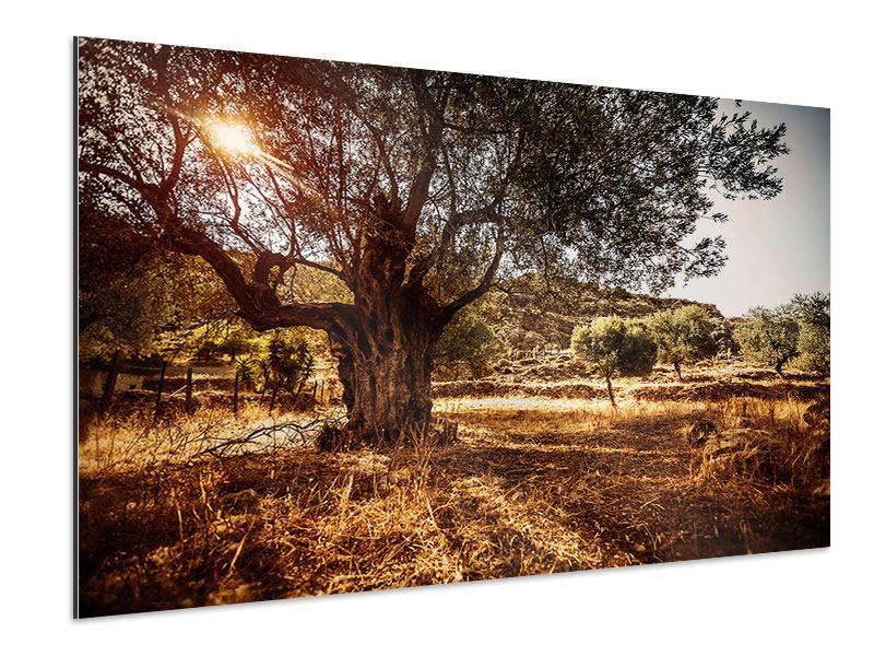 Aluminiumbild Olivenhain