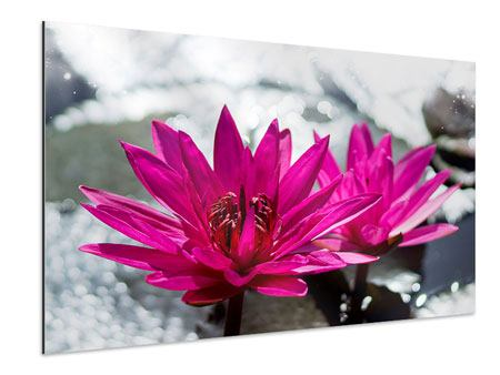 Aluminiumbild Seerosenduo in Pink