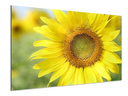 Aluminiumbild Die Blume der Sonne