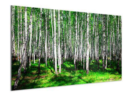 Aluminiumbild Sommerlicher Birkenwald