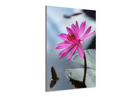 Aluminiumbild Grosse Lotus in Pink