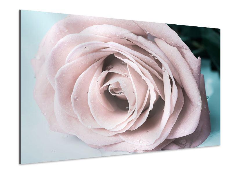 Aluminiumbild Pastellrose