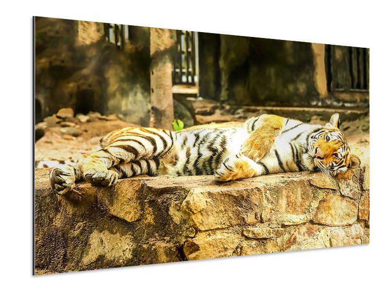 Aluminiumbild Der Sibirische Tiger