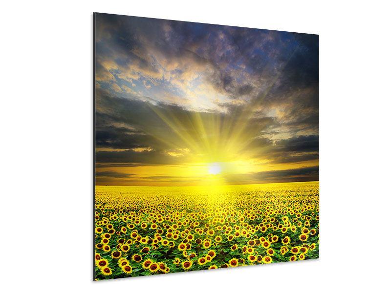 Aluminiumbild Abenddämmerung bei den Sonnenblumen