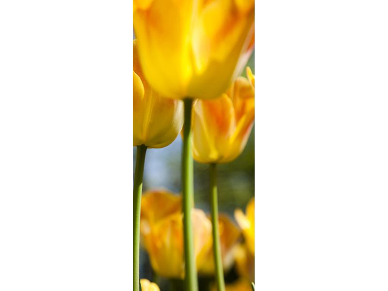 Türtapete Im Tulpenbeet