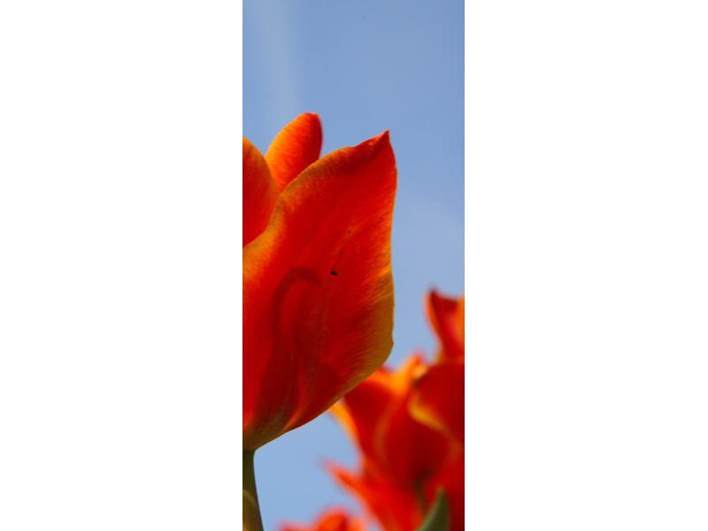 Türtapete Rote Tulpen in XXL